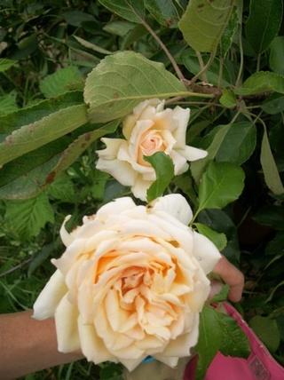 rosier sweet love Photo194