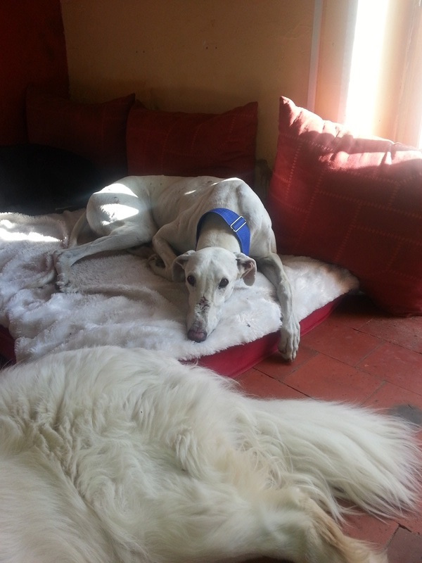 Tonin, galgo blanc, 4 ans Scooby France adopté - Page 2 20160813