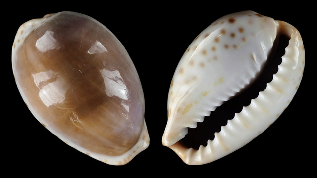 Notocypraea angustata (Gmelin, 1791) ? Cf_ang10