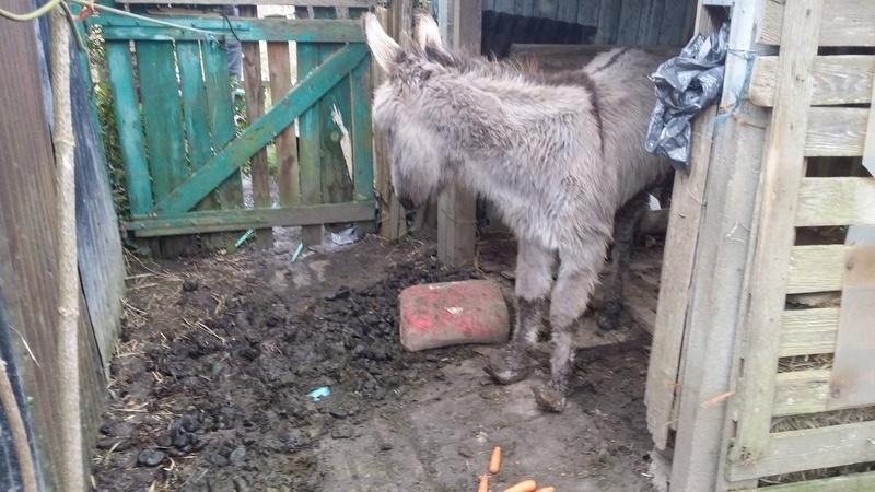 CALICHON - âne gris de petite taille - 25 ans 20180210