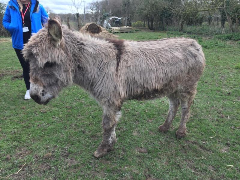 CALICHON - âne gris de petite taille - 25 ans 53736311