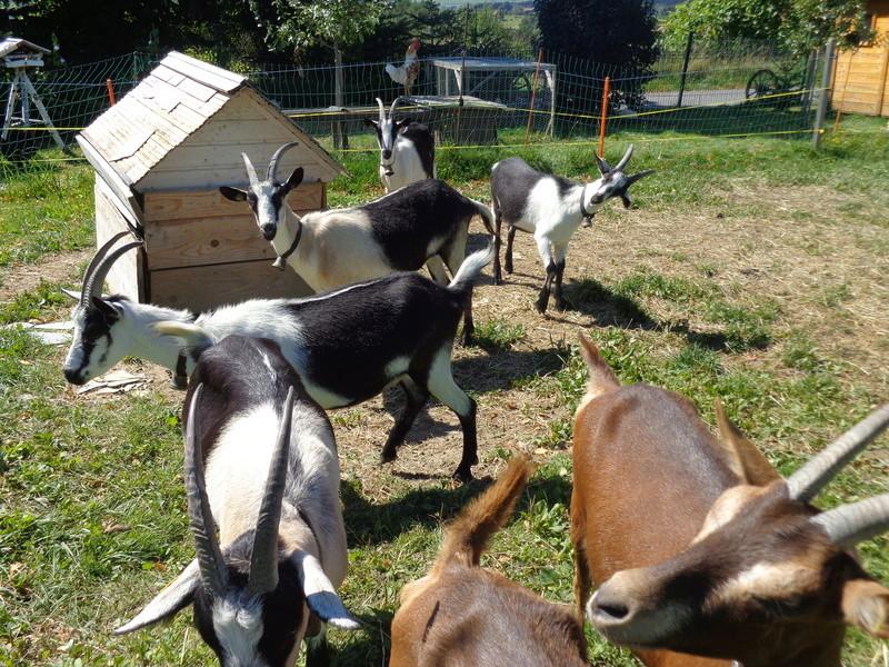 Chèvres paons et les autres Dsc02521
