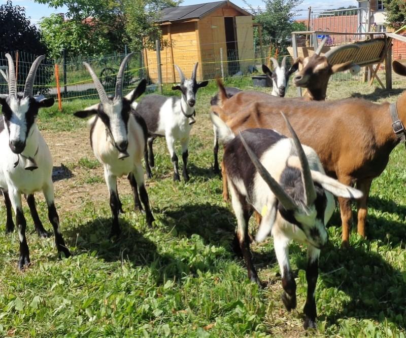 Chèvres paons et les autres Dsc02522