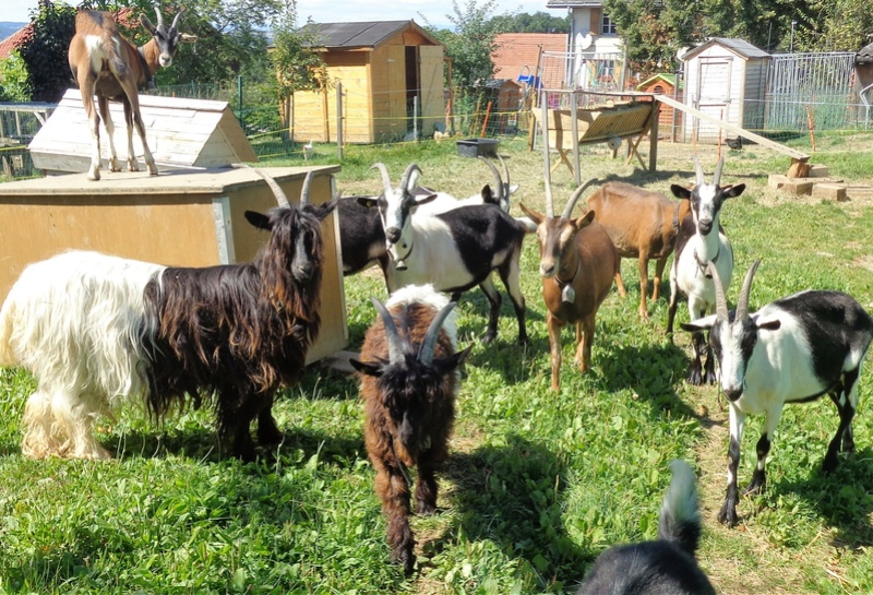Chèvres paons et les autres Dsc02524