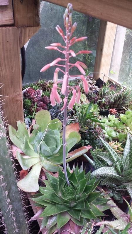 cadeaux du jardin, juin juin - Page 2 Aloe_c10