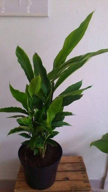 Alpinia zerumbet Alpini10