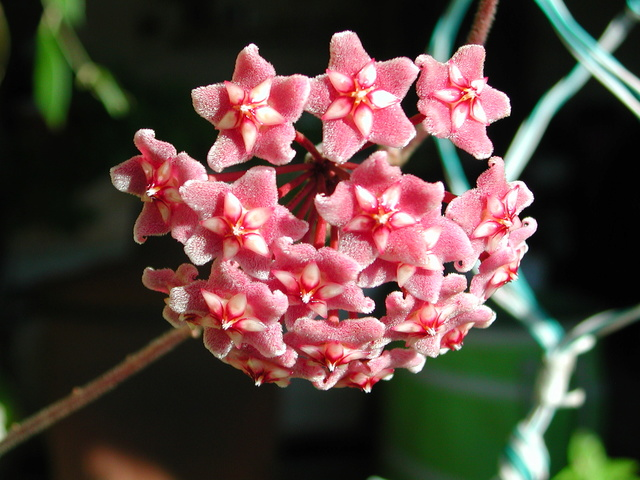 Hoya pubicalyx - Page 4 Dscn5710