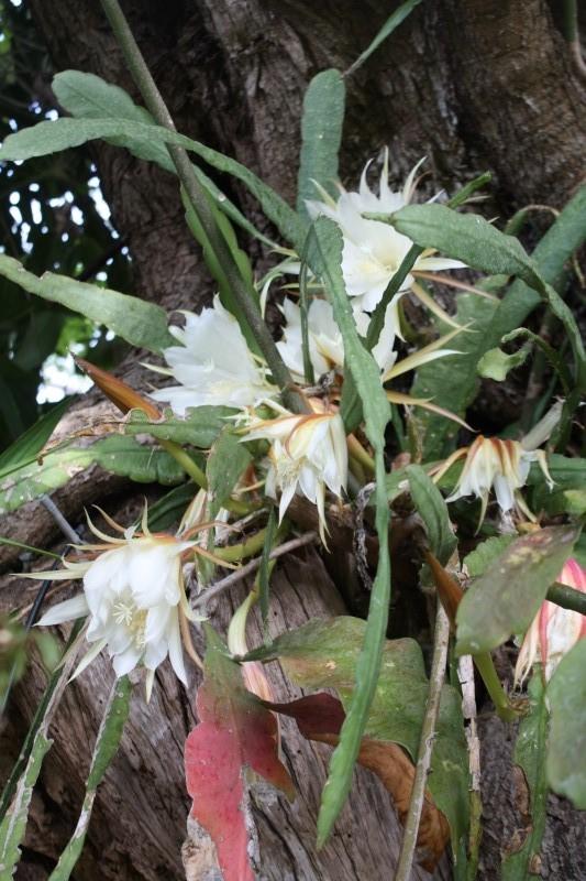 Quelques tropicales en fleurs, en ce moment Epiphy12