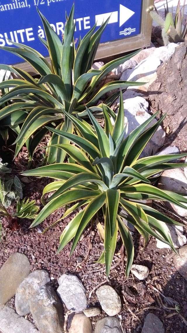 Agave desmettiana marginata (n°5 - Cugan) [id. non confirmée] Img_2010