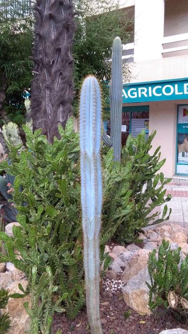 Pilosocereus pachycladus (= azureus) [identification] Img_2015