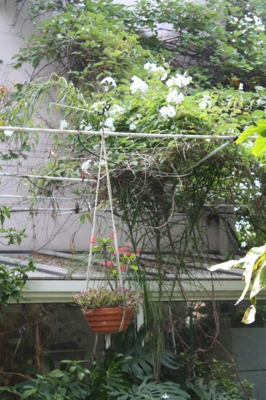 Quelques tropicales en fleurs, en ce moment Mandev10