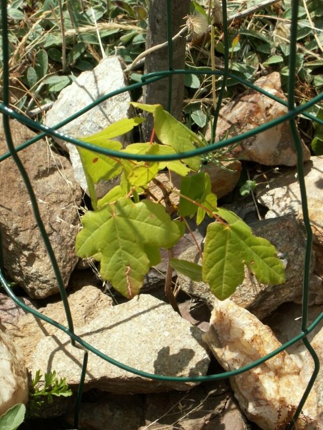 Acer campestre - érable champêtre Pict6612