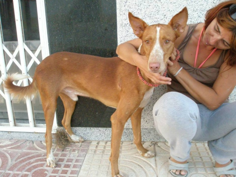 WIND , podenco tendresse 3 ans /  en accueil Windff10