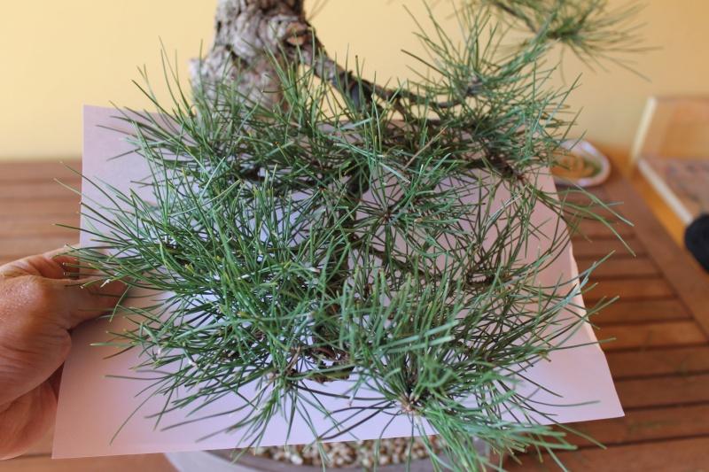 Settembre pulizia aghi pino 15-09-10