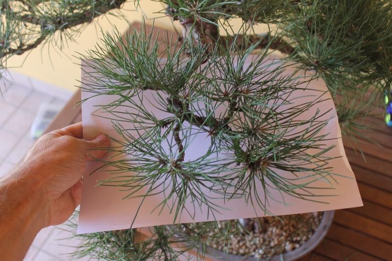 Settembre pulizia aghi pino 15-09-11
