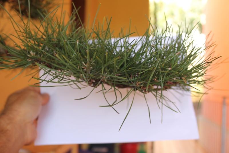 Settembre pulizia aghi pino 15-09-12