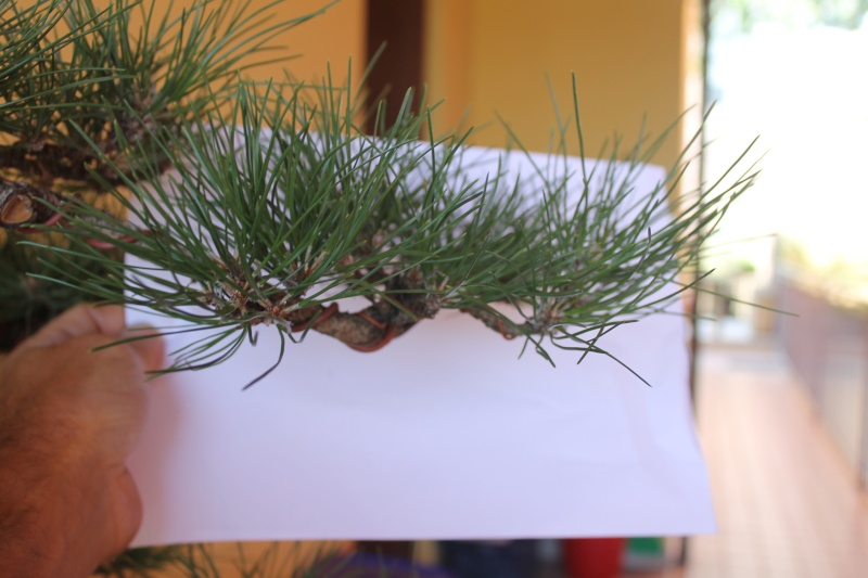 Settembre pulizia aghi pino 15-09-13