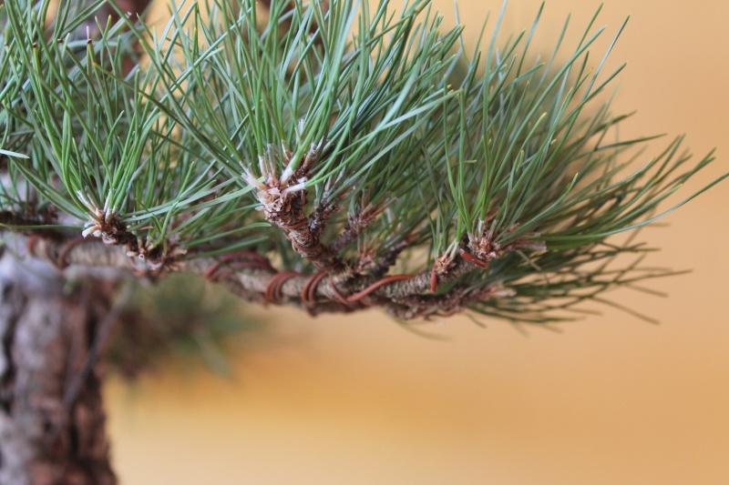 Settembre pulizia aghi pino 15-09-14