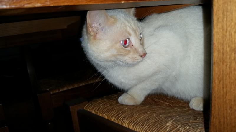 Trouvé chat red point allée d'Armorique à Colomiers 20160614