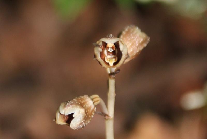 Gastrodia similis et Disperis oppositifolia 104110