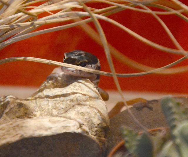 Mon ptit gecko 13886210