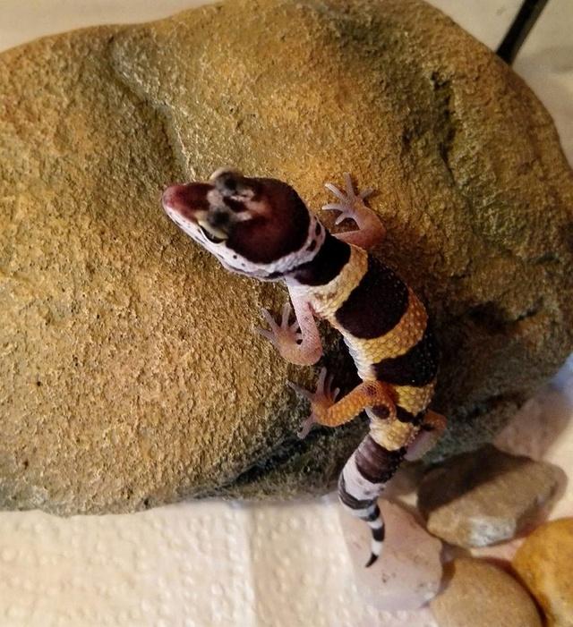 Mon ptit gecko 13901510