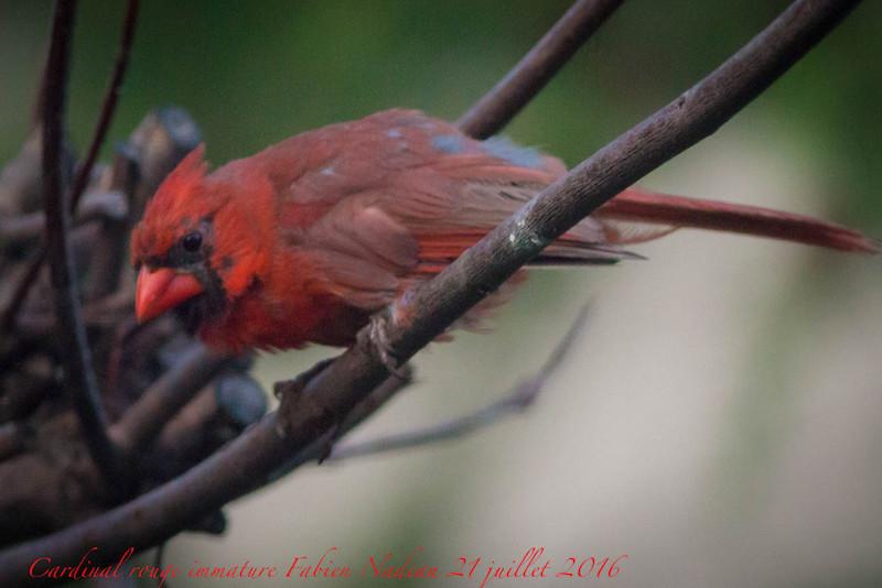 Cardinal rouge Img_2812