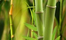 Le bambou... Bambou10