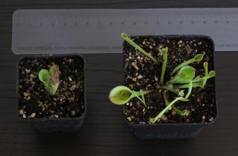 Plantes à vendre - Nepenthes - Sarracenia - Heliamphora - Dionée H_mino10