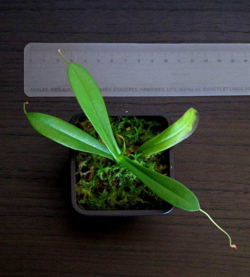 Plantes à vendre - Nepenthes - Sarracenia - Heliamphora - Dionée N_tenu10
