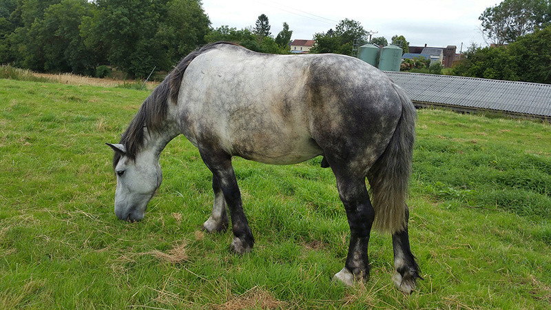 (60) ATHOS - Hongre Trait Percheron né en 2010 -  A ADOPTER (306 € + don libre) 20160718