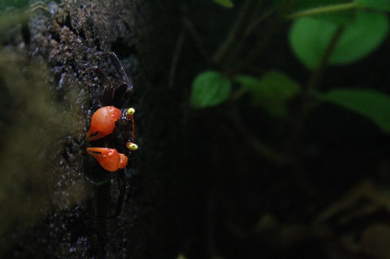 Crabe d'eau douce Img_6911