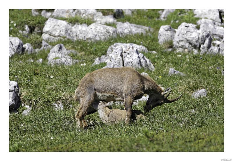 Capra ibex : bis repetita  Pas_de10