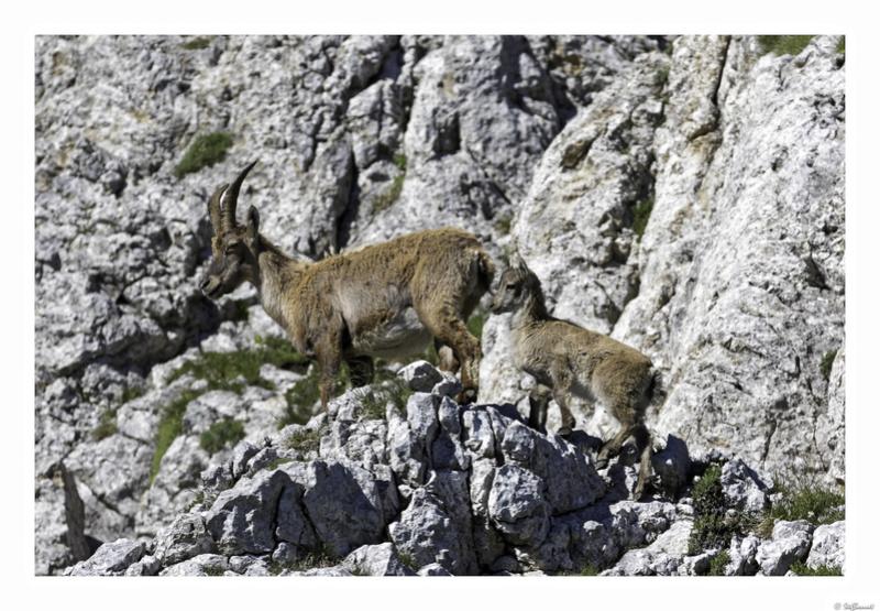 Capra ibex : bis repetita  Pas_de11