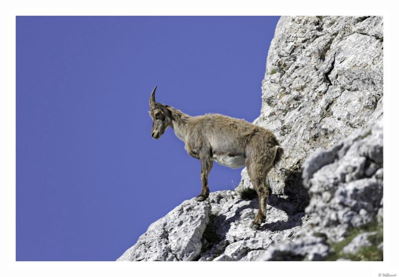 Capra ibex : bis repetita  Pas_de12