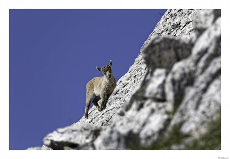 Capra ibex : bis repetita  Pas_de13