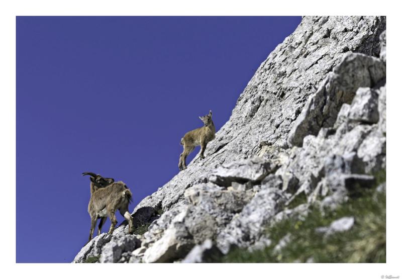 Capra ibex : bis repetita  Pas_de14