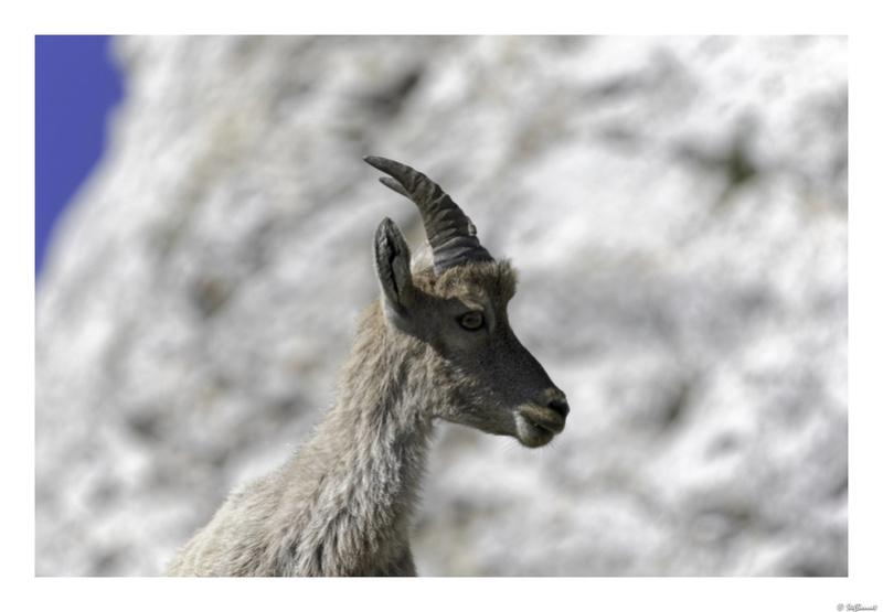 Capra ibex : bis repetita  Pas_de15