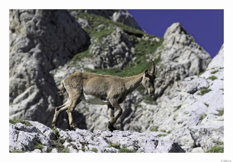 Capra ibex : bis repetita  Pas_de16