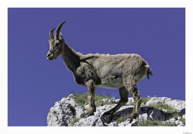 Capra ibex : bis repetita  Pas_de17