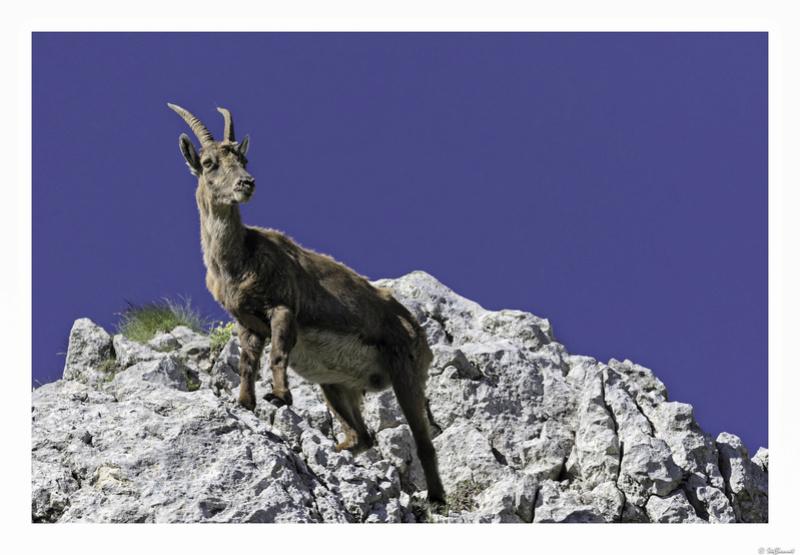 Capra ibex : bis repetita  Pas_de18