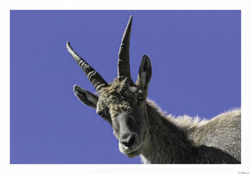 Capra ibex : bis repetita  Pas_de19