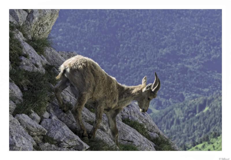 Capra ibex : bis repetita  Pas_de20