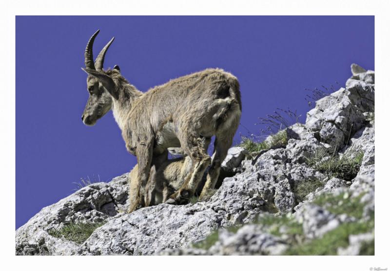 Capra ibex : bis repetita  Pas_de21