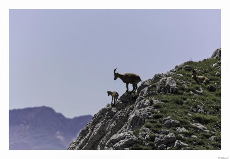 Capra ibex : bis repetita  Pas_de22