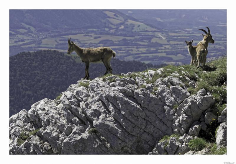 Capra ibex : bis repetita  Pas_de23