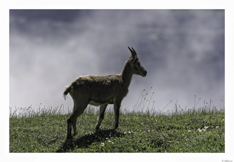 Capra ibex : bis repetita  Pas_de24