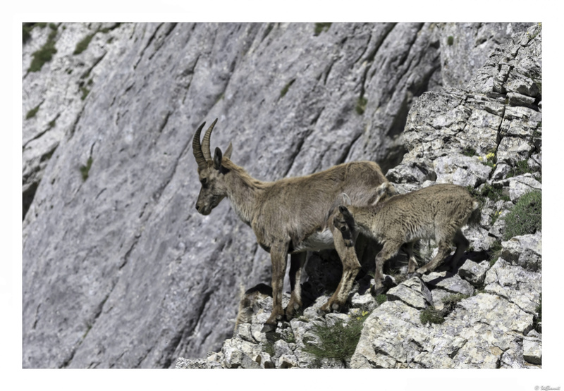 Capra ibex : bis repetita  Pas_de25