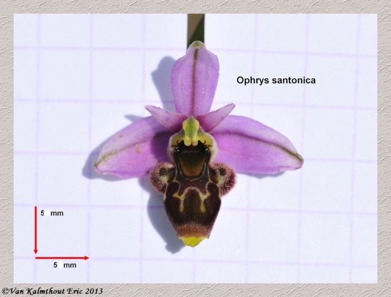 Santonica et Argensonensis ...... détails A_ophr16