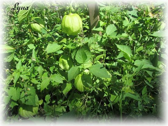 Tomatillos Tomati11